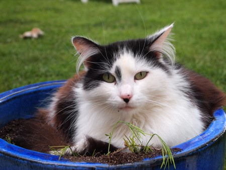 Soft and tender black and white french angora cat in garden blue pot - France. photo