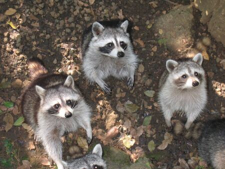 Three brother tropical raccon in the jungle - Guadeloupe island - Caraibes.