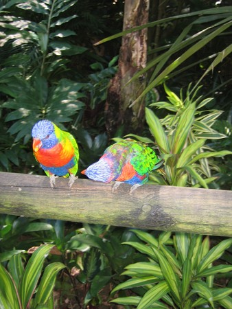 Two blue red and green purple tropical parrot on a branch in the jungle - Guadeloupe island - Caraibes. photo