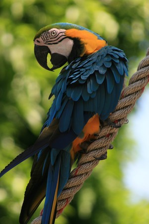 Blue and red tropical parrot in the jungle quiet on a rope - Guadeloupe island - Caraibes. Stock Photo