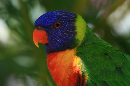 Detail of a blue and red tropical parrot in the jungle - Guadeloupe island - Caraibes.