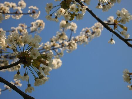 Details of a spring tree with white flowers in a garden - Champs sur Marne castle - France.