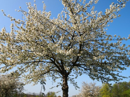 Panoramic view of a spring tree with white flowers in a garden - Champs sur Marne castle - France - Panorama. photo