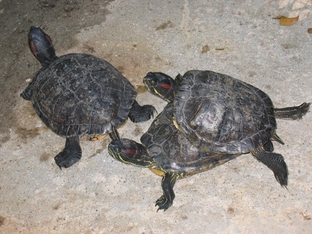 faisant l amour: Three tutles on the ground with two of them making love - Guadeloupe island - Caraibes.
