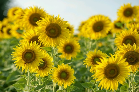 Sunflowers field. Stock Photo