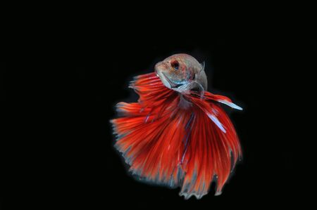 moon fish: Betta fish (half moon) or Siamese fighting fish on black background Stock Photo