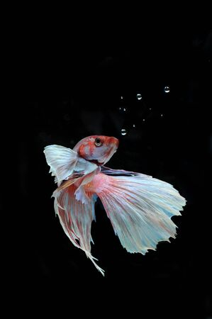 Betta fish (half moon) or Siamese fighting fish on black background Stock Photo