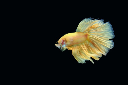 fish: Betta fish on black background