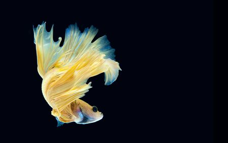 Betta fish on black background