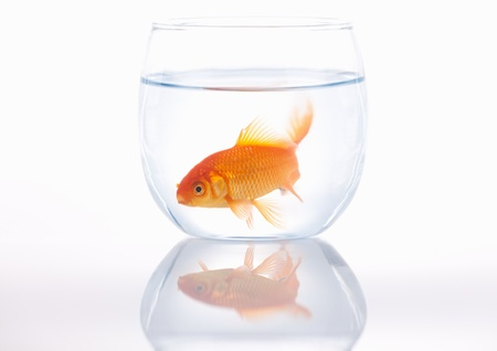 A lone gold fish in a small bowl photo