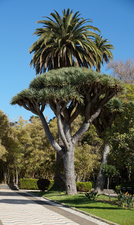 Dragon tree in front of palm tree photo