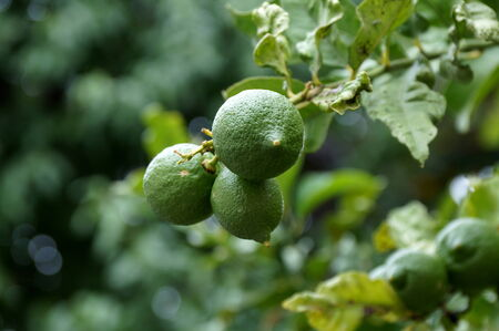 limonene: Limes on the tree