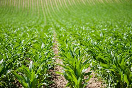 corn rows: Corn field in Provence