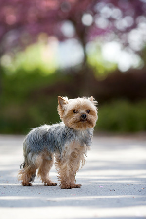 сooking: Yorkshire Terrier sitting in the park under a blooming tree Stock Photo