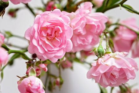 Small wild pink roses in a vase, texture background Stock Photo