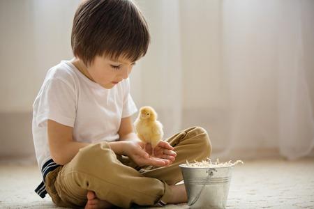 pollitos: Pequeño niño lindo dulce, niño de edad preescolar, jugando con los pequeños polluelos en casa, polluelos del bebé en las manos del niño Foto de archivo