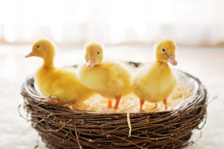 둥지, 격리 된 이미지, 다시 빛에 세 개의 작은 ducklings