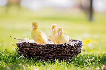 Three little ducklings in a nest, outdoors image in the park, springtime