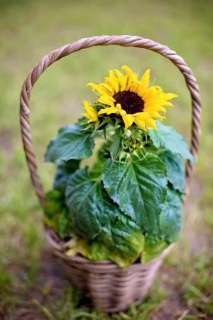 Beautiful sunflower in a basket in garden, spring background