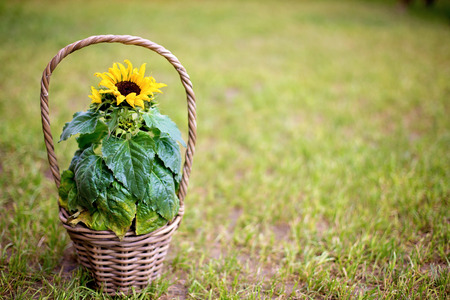 Beautiful sunflower in a basket in garden, spring background