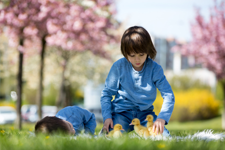 Cute little children, boy brothers, playing with ducklings springtime, together, little friend, childhood happiness Stock Photo - 100631652