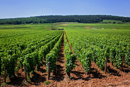 Beautiful rows of vineyards, landscape view of vineyards in the countryside, summer day