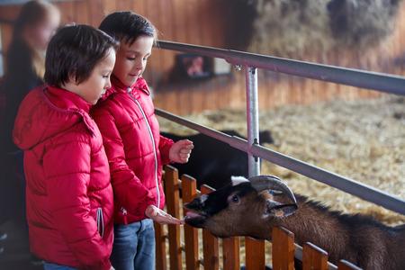 Bambini, dar da mangiare alle capre in una fattoria, interazione tra bambini e animali e attività nel fine settimana Archivio Fotografico
