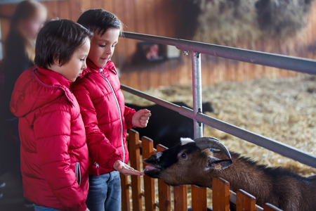 Children, feeding goats on a farm, kids and animal interaction and weekend activity