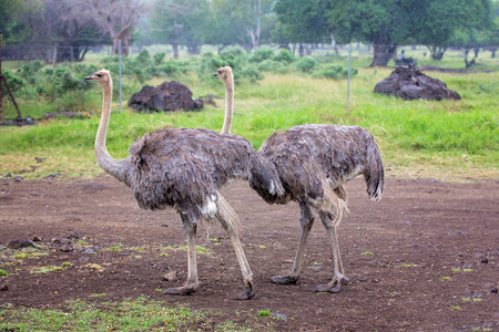Ostriches in an open plain in Mauritius park, trees in the background