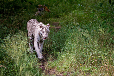 White male tiger walking on a path in the forest, wild animal in the nature habitat Фото со стока