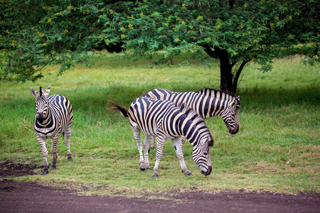 Herd of zebras and ostrich in the wild in park on Mauritius Stock Photo