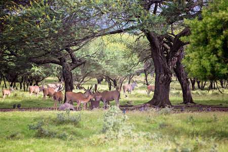 Impala antelopes in the forest. African antelopes, zebras and ostriches in national park in Mauritius