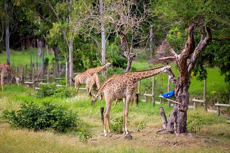 People enjoying giraffes in wild animal safari park on Mauritius
