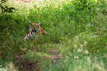 Tiger female is resting in the shadow/wild animal in the nature habitat Stock Photo