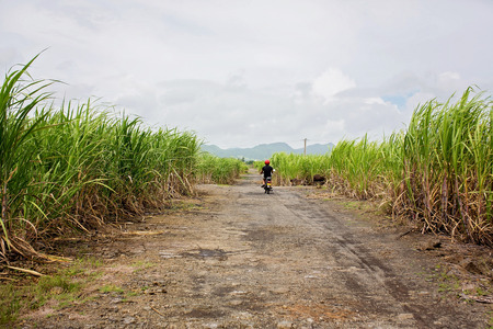 Happy people, children, running in sugarcane field on Mauritius island, kids enjoying the sugarcane fields, covering most of the island Archivio Fotografico