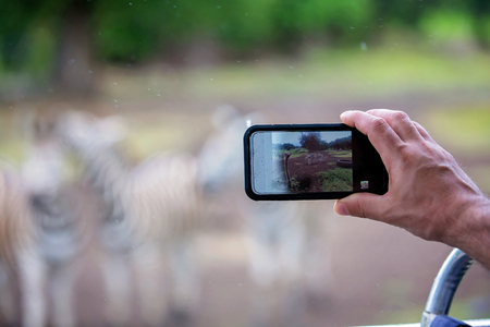 Man, taking pitcure with phone of herd of zebras and ostrich in the wild in parkon Mauritius