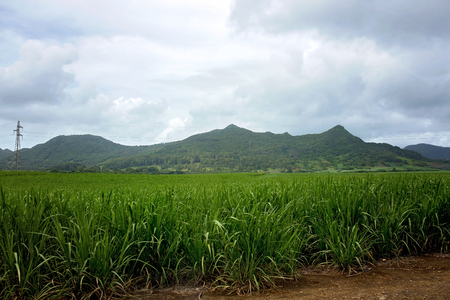 Sugar cane field with mountain range behind him on a cloudy day in Mauritius Stock Photo