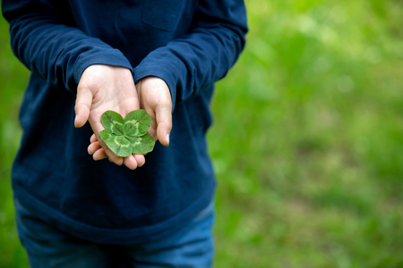 Child hands holding lucky four leaf clover. Boy have many four leaf clovers in his hands outdoors