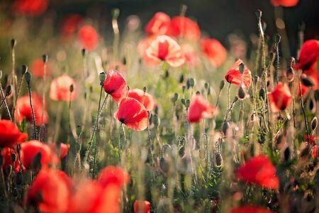 Poppy field on sunset, beautiful wild flowers in field on sunset