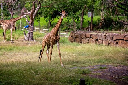 People enjoying giraffes in wild animal safari park on Mauritius