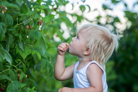 Little toddler boy, child, gathering raspberiies in garden Foto de archivo - 128380878