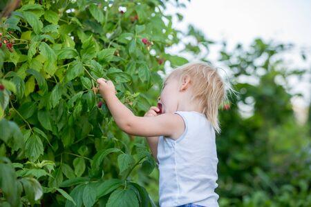 Little toddler boy, child, gathering raspberiies in garden Foto de archivo - 129407499