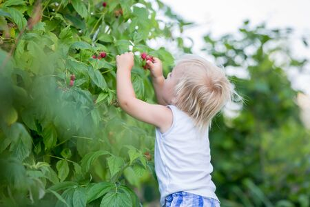 Little toddler boy, child, gathering raspberiies in garden Foto de archivo - 128934466