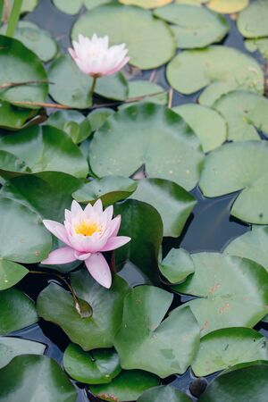 Beautiful Water lily flower in pond