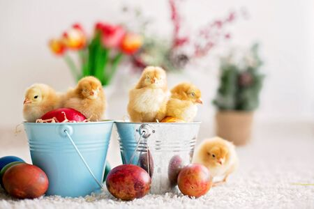 Cute little newborn chicks in a bucket and easter eggs, playing