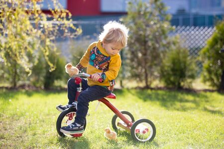 Sweet cute blond child, toddler boy, riding tricycle with little chicks in garden, playing with baby chickens Stockfoto
