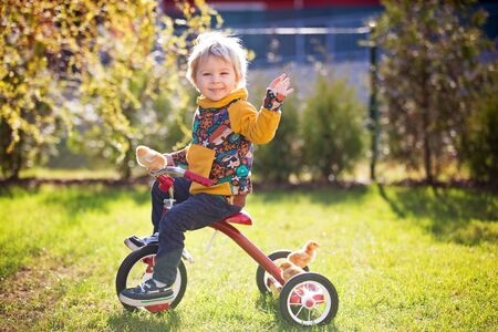 Sweet cute blond child, toddler boy, riding tricycle with little chicks in garden, playing with baby chickens
