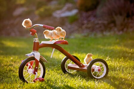Tricycle with little chicks in garden, baby chickens playing on sunset