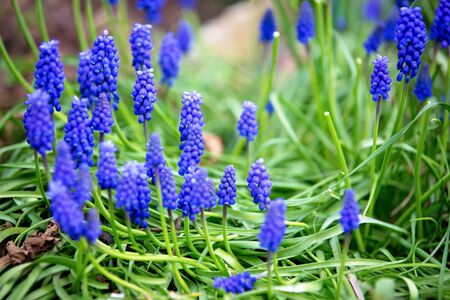 Beautiful bluebell flowers in garden, natural background