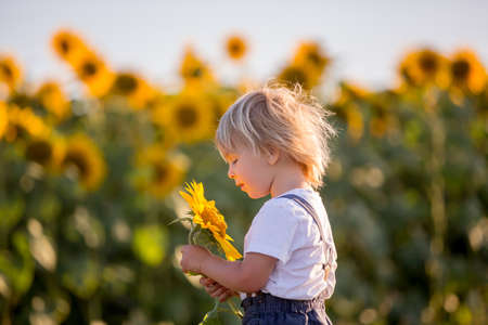 Little toddler boy, child in sunflower field, playing with big flower on sunset